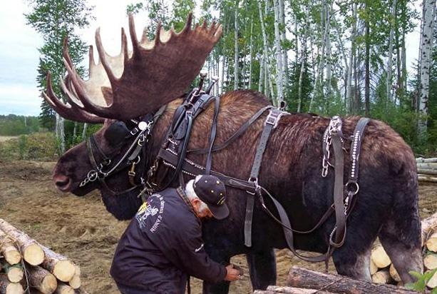 Moose Dressage-1